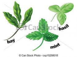 Drawn herbs basil