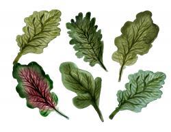 Kale clipart