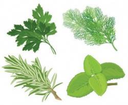 Herbs clipart herbal