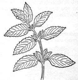 Drawn mint mint plant