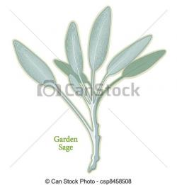 Drawn herbs sage plant