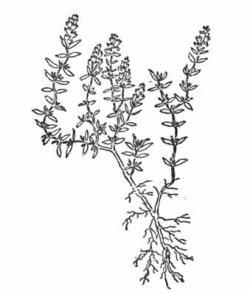 Drawn herbs thyme