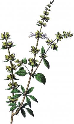 Drawn herbs basil flower