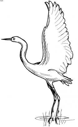 Drawn bird egret