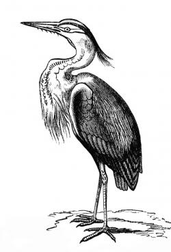 Great Blue Heron clipart animal