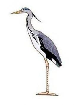 Great Blue Heron clipart shallow