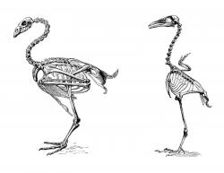 Ostrich clipart skeleton