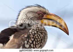 Hornbill clipart african
