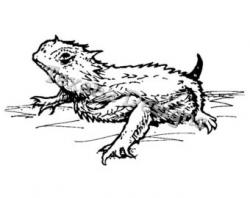 Horned Lizard clipart