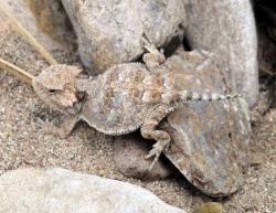 Horned Lizard clipart arizona