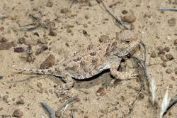 Horned Lizard clipart california desert
