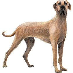 Great Dane clipart hound