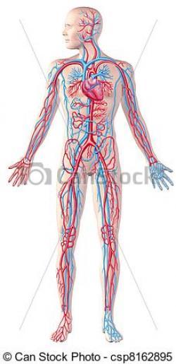 Human clipart cardiovascular system