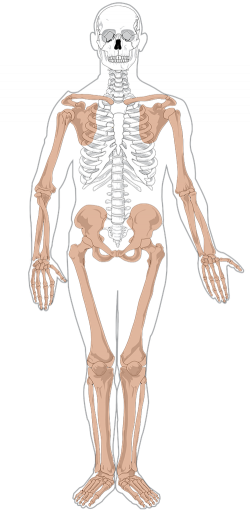 Bones clipart human biology