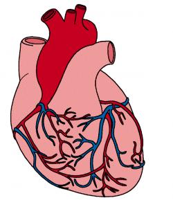 Organs clipart human heart