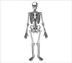 Organs clipart skeleton body