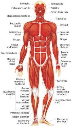 Organs clipart muscular system