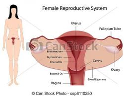 Human clipart reproductive system