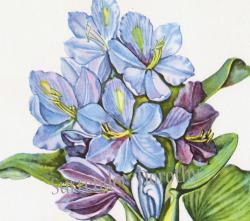 Hyacinth clipart botanical