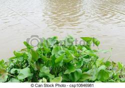 Hyacinth clipart water hyacinth