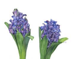 Hyacinth clipart watercolor
