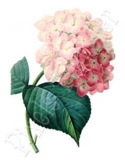 Hydrangea clipart botanical illustration