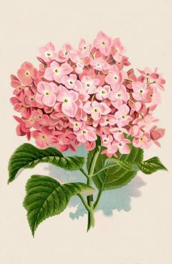 Drawn vintage flower hydrangea