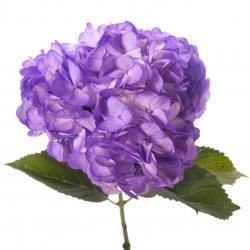Hydrangea clipart purple flower