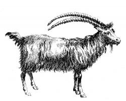 Billy Goat clipart ibex