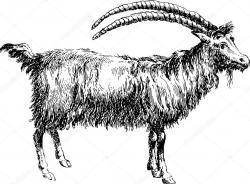 Ibex clipart chivo