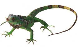 Green Iguana clipart newt