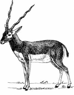 Pronghorn Antelope clipart black and white