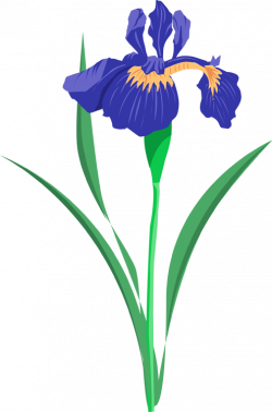 Iris clipart floral