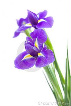 Iris clipart violet