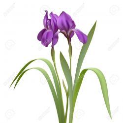 Iris clipart white background