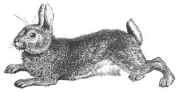 Hare clipart wild rabbit
