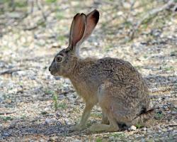 Jack Rabbit clipart arizona