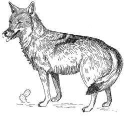 Drawn coyote jackal