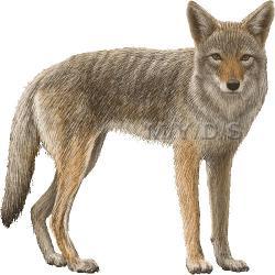 Coyote clipart transparent