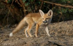 Jackal clipart desert fox