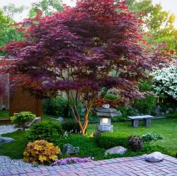 Japanese Garden clipart maple tree