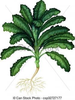 Kale clipart fresh