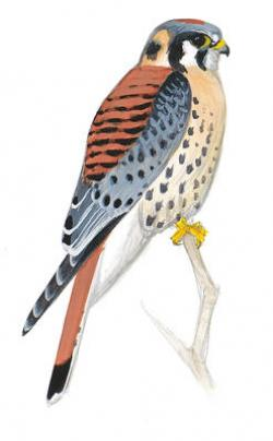 Starling clipart kestrel