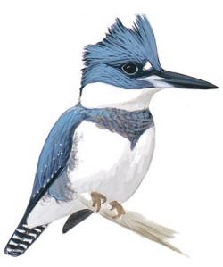 Kingfisher clipart female