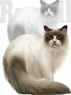 Persian Cat clipart ragdoll