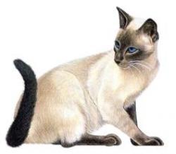 Siamese Cat clipart female cat