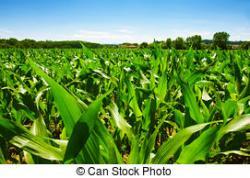 Korn clipart corn field