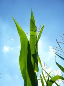 Korn clipart corn plant