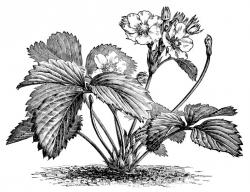 Korn clipart tobacco plant