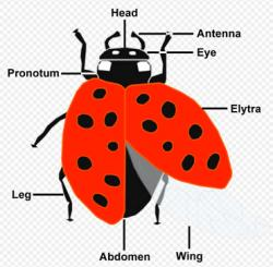 Lady Beetle clipart spring activity